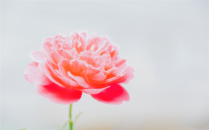 pink-blooming-peony-flower-in-closeup-photography-1415378.jpg