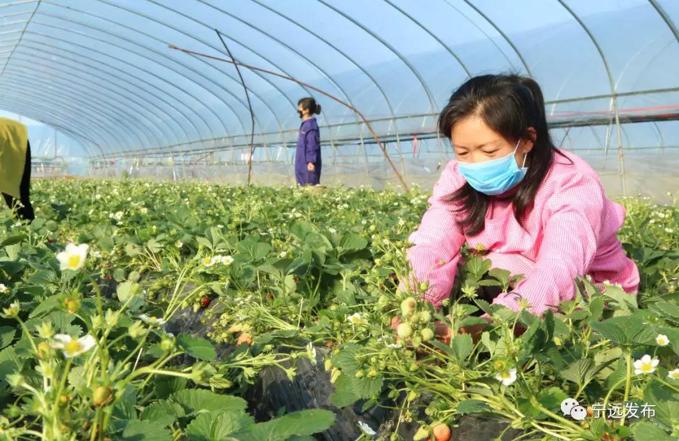 2月16日,在宁远县桐山街道宝塔脚村的一家大棚草莓园,农民在修整草莓枝叶。.png